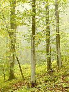 Misty Beech Forest In Autumn Stock Photo