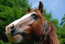 Free Brown Horse Royalty Free Stock Images - 10362489