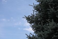 Free Fur-tree Ordinary Against The Sky Royalty Free Stock Photo - 10362585