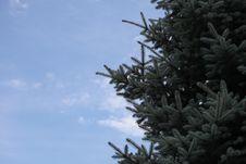 Fur-tree Ordinary Against The Sky Royalty Free Stock Photo