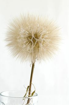 Free Dandelion Royalty Free Stock Photography - 10363047