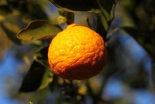 Free Orange Mandarin On The Tree. Ripe Tangerine. Stock Photos - 103738903