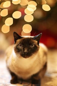 Free Animal, Blur, Cat, Christmas Royalty Free Stock Photography - 103823237