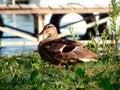 Free Duck Stock Image - 1043241