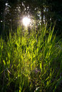 Free Backlit Grasses Royalty Free Stock Photos - 1044598