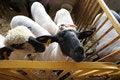 Free Peering Sheep Royalty Free Stock Image - 1048486