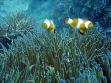 Free A Pair Of Clownfish Stock Photos - 1040303