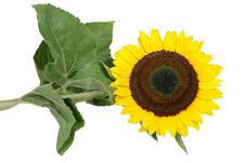 Free Sunflower Stock Images - 1040944