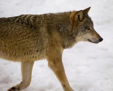Free Wolf From Bialowieza / Poland Royalty Free Stock Images - 1040989