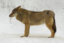 Free Wolf From Bialowieza / Poland Royalty Free Stock Image - 1040996