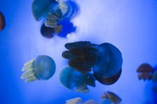 Free Jelly Fish Stock Images - 1042134