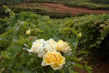 Free Yellow Roses In A Vineyard Royalty Free Stock Photography - 1043087