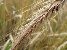 Free Rye Spikelet Stock Image - 1043231