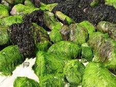 Free Seaweed Rocks Royalty Free Stock Photos - 1043358