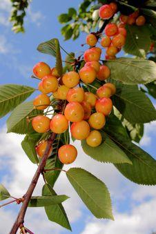 Free Ripening  Cherries Royalty Free Stock Image - 1043606