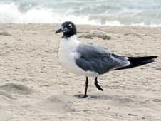 Free Seagull At VA Beach Royalty Free Stock Photography - 1044177