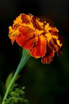 Free Marigold Royalty Free Stock Photography - 1044627