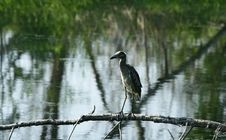 Black Headed Night Heron Royalty Free Stock Photography