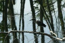 Free Black Headed Night Heron Walking Stock Images - 1044894