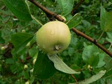 Free Green Apple Stock Photo - 1044970