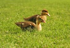 Twin Baby Duck Royalty Free Stock Photography