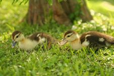 Free Twin Baby Duck 2 Royalty Free Stock Image - 1045856