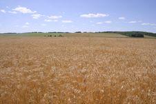 Free Corn Field Stock Image - 1045941