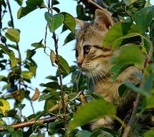 Free Tiger Kitten In Tree Royalty Free Stock Image - 1046306