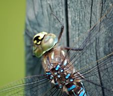 Free Dragonfly Closeup Royalty Free Stock Photo - 1046445