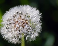 Free Dandelion Stock Images - 1046614