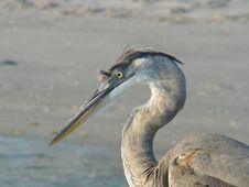 Free Hunting Heron Stock Photos - 1046823