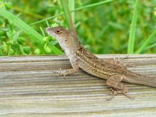 Free Speckled Lizard Royalty Free Stock Photos - 1046908