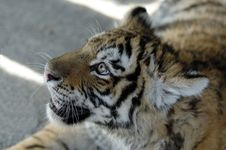 Free Siberian Tiger Stock Photography - 1047502