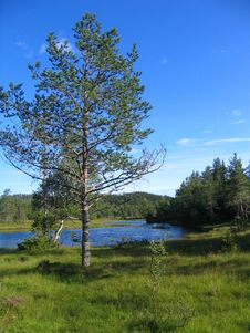 Free Pine By Tarn Royalty Free Stock Image - 1047556