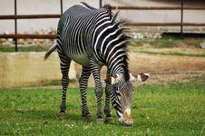 Free Zebra Royalty Free Stock Photo - 1048245