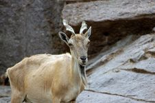 Free Mountain Goat Stock Photography - 1048252