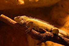 Free Iguana Royalty Free Stock Photos - 1048268