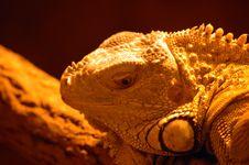Free Iguana Stock Image - 1048271