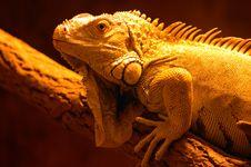 Free Iguana Stock Photo - 1048280