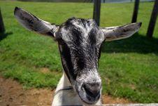 Free Gray Goat Stock Image - 1048331