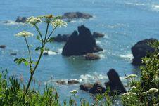 Free Cow Parsnip, Oregon Coast Royalty Free Stock Photography - 1048657