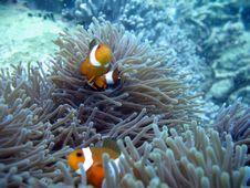 Free Clownfish Pair Stock Photo - 1049220