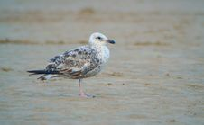 Free Seagull Stock Photo - 1049300