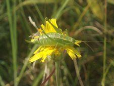 Free Grasshopper Royalty Free Stock Photography - 1049587