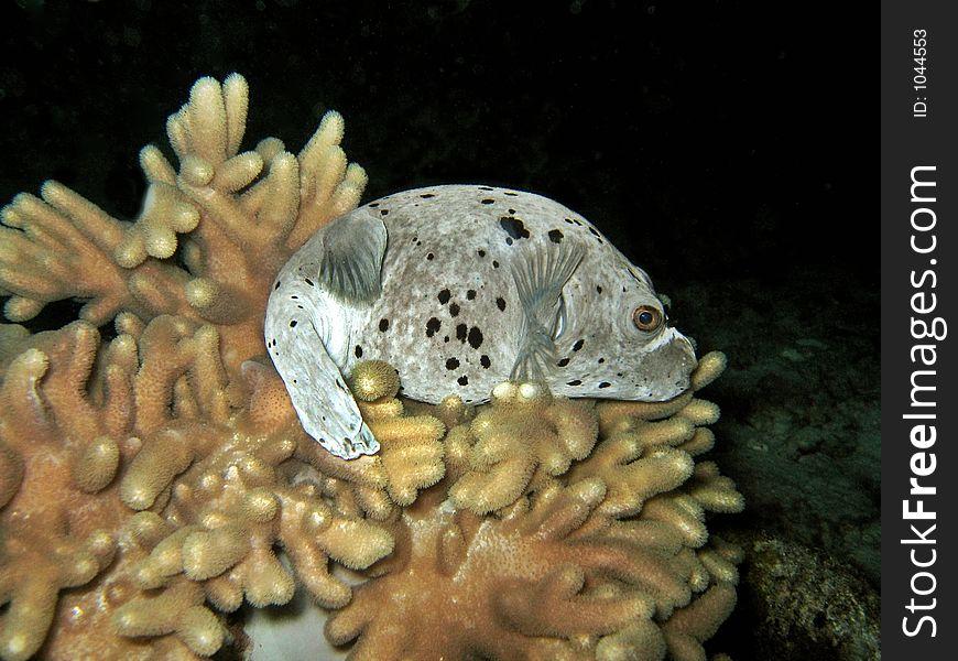 Shy Pufferfishy