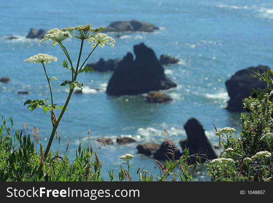 Cow parsnip, Oregon coast