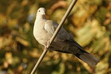 Free Turtledove In The Tree Royalty Free Stock Images - 104078209