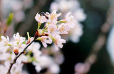 Free Selective Focus Photography Of White Cherry Blossoms Royalty Free Stock Photos - 104145968