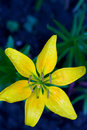 Free Yellow Lily Royalty Free Stock Photos - 10424978