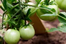 Free Green Tomatoes Stock Photo - 10425030